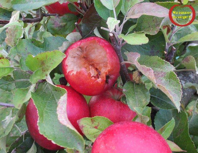 Pommes attaqués par les oiseaux- dégâts des oiseaux sur les pommes- protection des fruits contre les oiseaux