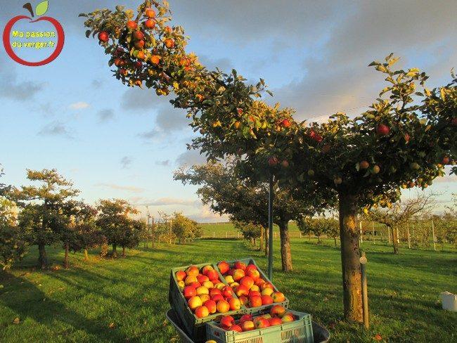 La protection des fruits avec le filet anti-insecte. protection des pommes