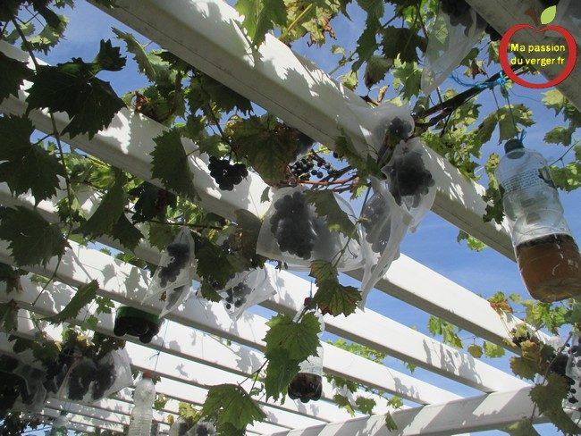 L'ensachage du raisin- l'ensachage des fruits et du raisin- sachet anti-insecte pour le raisin- comment protéger le raisin contre le drosophile- contre les guêpes et les frelons-comment protéger les poires contre le carpocapse- comment protéger le raisin contre les oiseaux- raisin sur une pergola